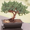 Creeping Juniper Bonsai Slanting Pine Tree Miniature