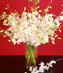 12 Stem White Dendrobium Orchid in Vase