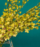 One Dozen Yellow Vanda Orchids in a Bouquet
