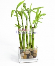 Lucky Bamboo in a Vase
