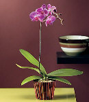 Moth Orchid-1