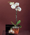 Moth Orchid-2