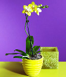 Moth Orchid-3
