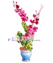 Colorful Dendrobium Orchid