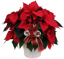 Perfect Poinsettia Plant